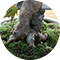 盆栽用の苔